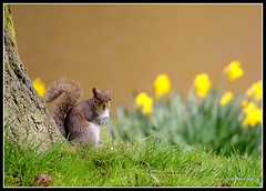 Captured (juliereynoldsphotography) Tags: nature liverpool spring squirrel daffodil picnik seftonpark merseyside