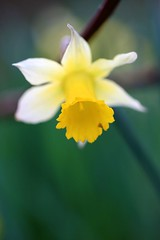 narcis (look to see) Tags: spring bokeh tuin thuis lente 100mmlmacro 201004natuur
