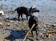 IMG_6697 (triciawd) Tags: dog beach dogs water swans blacklab labradorretriever stick fetch beautifulday