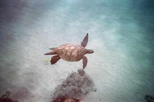 Sea Turtle at Black Rock (1)