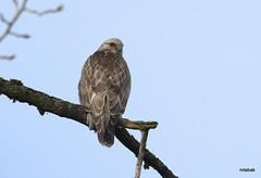 light morph Rough-legged Hawk (miketabak) Tags: