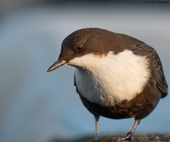 Close-up Dipper [Explored] (uusija) Tags: cincluscinclus dipper bird koskikara linnut luonto nature
