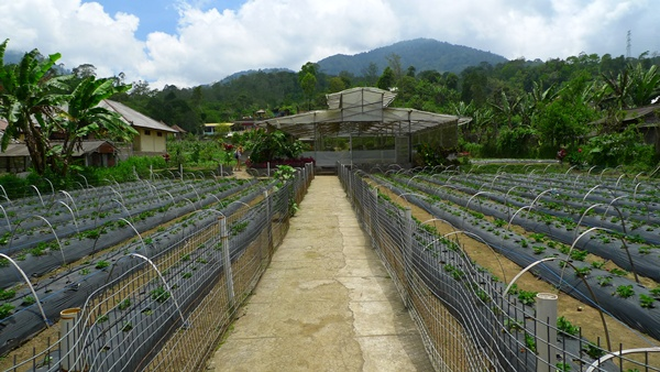 Strawberry Plantations Bedugul
