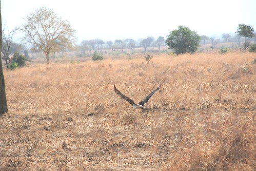 Martial Eagle attacking young Impala - 11 - Mikumi NP, Tanzania