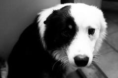_MG_1477 copy (heddar) Tags: blackandwhite bw dog cute animal fur nose shepherd sheepdog scared islandic slenskurfjrhundur islndskfrhund islandicsheepdog