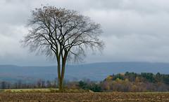 Near Egremont, MA (MarkHout) Tags: travel autumn trees usa tree fall grass leaves landscape fallcolor mud farm fallcolors massachusetts scenic farmland