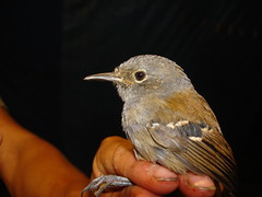 Myrmeciza griseiceps DFL Tumbes PE 6-09 2 (barbetboy) Tags: myrmeciza fbwnewbird fbwadded grayheadedantbird myrmecizagriseiceps