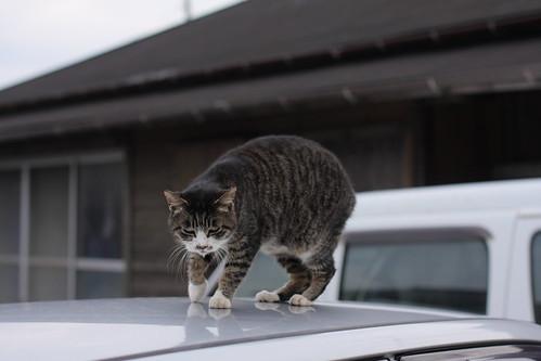 cat 1951