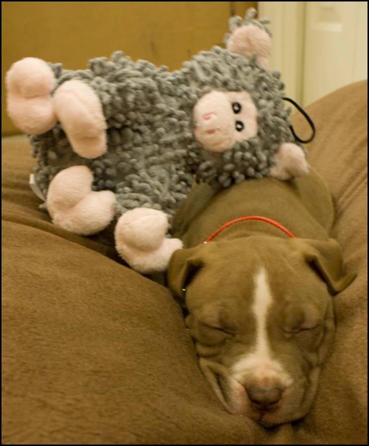 Dog Has Diarrhea On Rug: My New Little Baby Puppy Pitbull, Bailey! :) (clean, Poop
