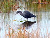 Little Blue Heron 4-20091129