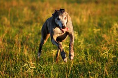Keno Running (Pantusso) Tags: portrait rescue greyhound dogs canine racing animalrescue adopted adoption