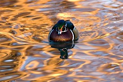 Sunset Duck Too (littlebiddle) Tags: sunset nature water birds washington wildlife sony ducks aves alfa alpha dslr waterfowl yakima amount a700 fowlfeatheredfriends