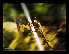 dragonfly gold (Tencio) Tags: life wild blur macro nature yellow canon garden insect gold fly big dragon dragonfly wildlife natura giallo mothernature drago giardino oro libellula volare colseup madrenatura tencios