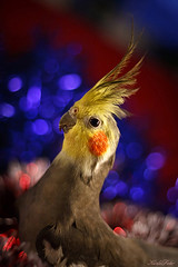 Tuti (Kerli'sPhotography) Tags: christmas colour cute bird beautiful adorable parrot cockatiel tuti julud2009 christmasparrot