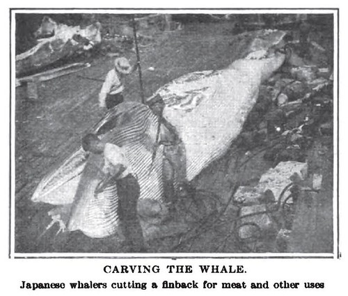CARVING THE WHALE. Japanese whalers cutting a finback for meat and other uses