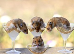 Can we have some? (Hamster Lover 14) Tags: funny hamsters