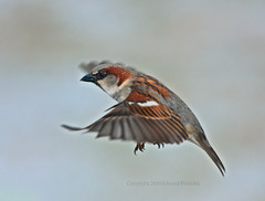 Male house sparrow flying in winter (Edward Mistarka) Tags: winter red usa brown white snow motion black bird ecology beautiful horizontal landscape freedom healthy movement afternoon gray maryland health environment bliss housesparrow passerdomesticus tranquil ecofriendly malehousesparrow singlebird abigfave avianexcellence flickrdiamond winterbackground alemdagqualityonlyclub alittlebeauty platinumwildlife environmentsafe creativemomentsofourtime edwardmistarka singlemainsubject sharpfocusforeground housesparrowflying backgroundsnow