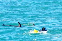 Kaikoura Dolphin Swim Kaikoura Dolphin Encounter