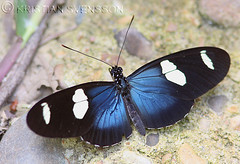 Leucadia Longwing (Heliconius leucadia) or Sara Longwing (Heliconius sara) (macronyx) Tags: peru nature butterfly insect wildlife insects papillon mariposa schmetterling unidentified farfalle fjäril nymphalidae heliconiinae longwing heliconius sommerfugle perhoset saralongwing heliconiini leucadialongwing heliconiusleucadia
