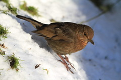 Slippery Slope (Chris*Bolton) Tags: ireland winter snow bird nature searchthebest soe slope avian birdwatcher potofgold blueribbonwinner otw supershot rathdrum bej specanimal golddragon abigfave platinumphoto anawesomeshot impressedbeauty diamondclassphotographer flickrdiamond citrit naturewatcher theperfectphotographer goldstaraward wickloe