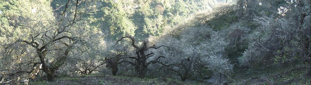 梅樹全景圖