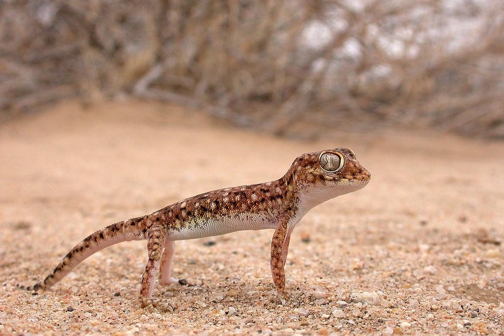 Stenodactylus sthenodactylus   The Reptile Database