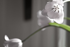 """os deseo una feliz semana"" (Tinta China2007) Tags: tulipanes luminosos bonitos alegres suaves juguetones"