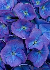 41672 (Clive Nichols) Tags: flowers blue beautiful renate hydrangea shrub hortensia mophead steinger macrophylla hortensis clivenichols flickrhydrangeas