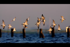 Dunlin, Sanbanze, 30.1.10 (Callocephalon Photography) Tags: sunset sea bird water japan bay fly flock flight free chiba dunlin calidrisalpina tokyobay sanderling funabashi charadriiformes canonextenderef14xii sanbanze canonef300mmf28lisusm greatertokyo canoneos40d slbflying