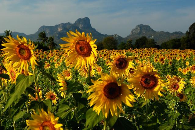 Sunflowers Lopburi Thailand 112808 01