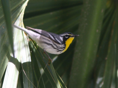 Yellow-throated Warbler 2-20100301