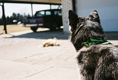 watch dog (hellocopter) Tags: blue dog brown black cute car cat out ginger mutt eyes focus husky shepherd tail gray australian tan kitty spots paws bandana siberian merle bryn skimo