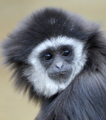 Gibbon monkey (floridapfe) Tags: face animal zoo monkey nikon korea gibbon 에버랜드
