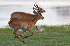 I believe, I can fly ;) (Wild Dogger) Tags: africa travel nature animals canon tiere action wildlife urlaub natur adventure safari afrika botswana bovidae mammals 2009 antilope herbivore abenteuer redlechwe kwando specanimal lebala canoneos7d thomasretterath canonef300lis28usm litschiantilope