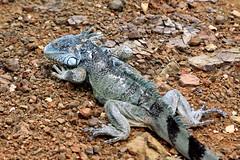 iguana_0779