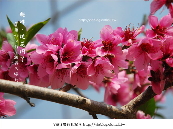 【梅峰農場桃花緣】最美的桃花隧道,就在南投梅峰這裡~(上)29