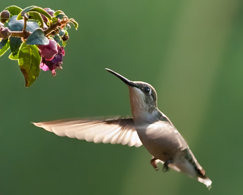 AMAZING HUMMINGBIRD