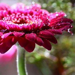 color is joy... (janoid) Tags: pink gerbera lovelovelove thisisyou gerberadaisy xoxoxoxox didimentionpink yougolady lightjoy pinkjoy flowersjoy ohandheartsjoy