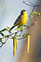 palm_warbler-9218-Edit (iseethelight) Tags: park atlanta wild usa bird nature ga matt georgia matthew wildlife palm ward ornithology birdwatching piedmont avian warbler