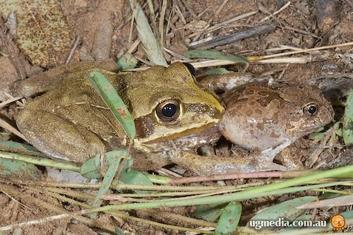 Giant frog (Cyclorana australis) eating ornate burrowing frog (Platyplectrum ornatum)