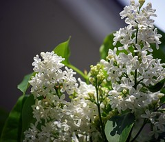 Morning Sun On Lilacs (doubledcop) Tags: flowers white green nature garden grey flora blossoms blooms lilacs whitelilacs