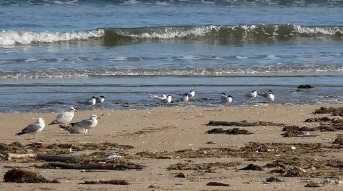 12398 - Sandwich Terns at Burry Port
