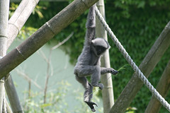 Grauer Gibbon - Junges