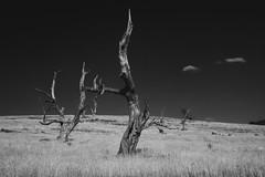 voices (Keith Midson) Tags: trees tree deadtree ross tasmania field rural australia summer dry drought
