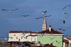 (dinapunk) Tags: sea slovenia piran bird seagull tower church