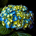 Milflores+%28Hydrangea+Macrophylla%29