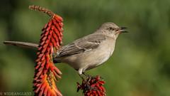 Morning songster (Wideangle55) Tags: 600mm handheld wideangle55 nikon d800 colors birds laarboretum nomo mockingbird