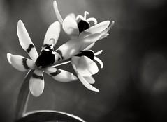 Early Nancy, (holly hop) Tags: flora flower orchid bushorchid plant native australia centralvictoria victoria dalyenong dalyenongforest hmm macro monochrome earlynancy wurmbeadioica macromondays bw
