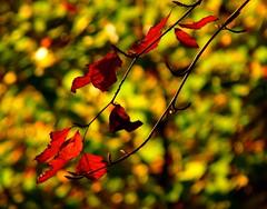 beside the burn (kmam) Tags: autumn trees red orange green forest scotland branch walk ayrshire stewarton explored