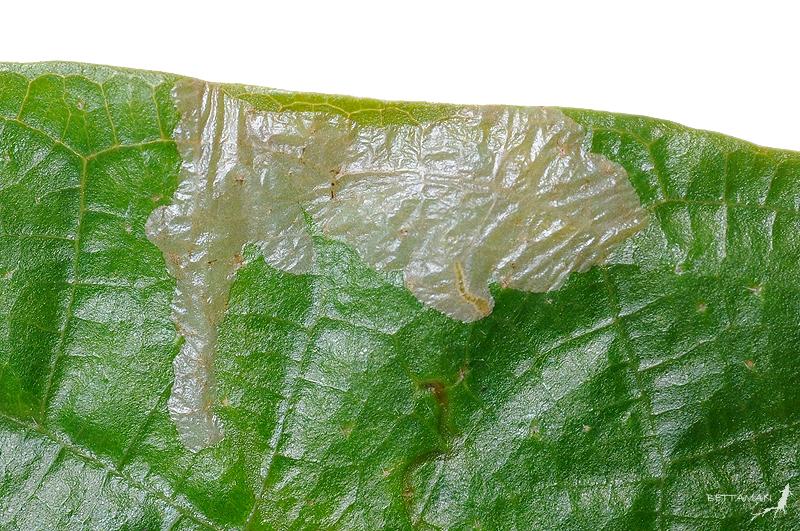 091018 台北 新店 四崁水 Leaf Miner on Ficus fistulosa Reinw. ex Blime, 1825